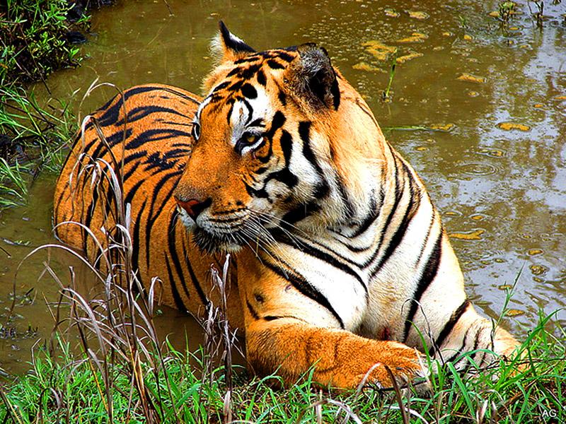 Sulle orme della tigre for Disegni delle tigri