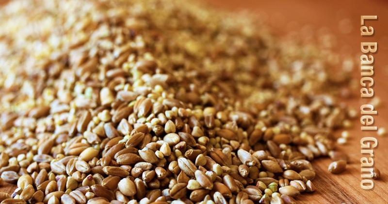 una manciata di chicchi di cereali e la scritta: la banca del grano